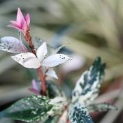 Jasminoides Chameleon