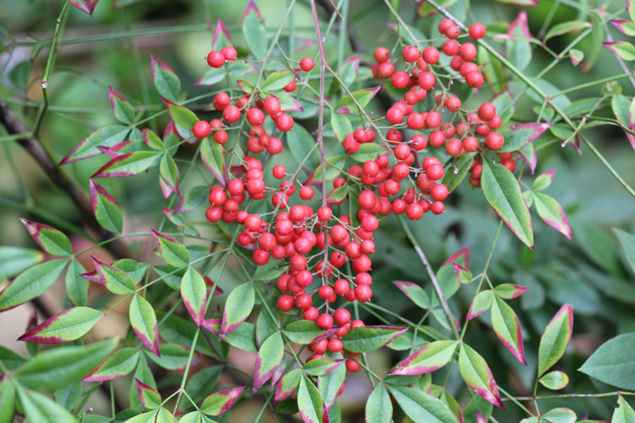 Nandina domestica by The Gardening Blog Nandina Domestica