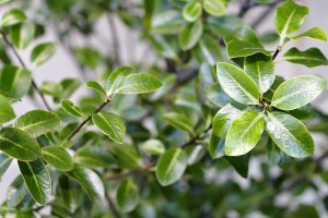 Pittosporum Nigricans