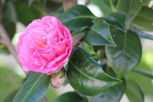 I have hundreds of Camellia blooms