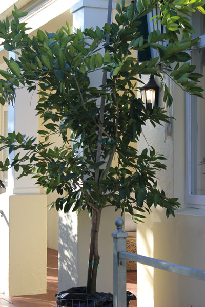 New lemon and lime by the gardening blog - What is lime used for in gardening ...