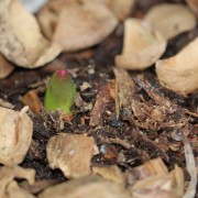 The first Tulip emerges