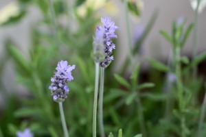 Does Lavender flower all year long?