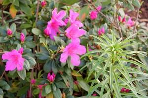 Azaleas and new Liliums