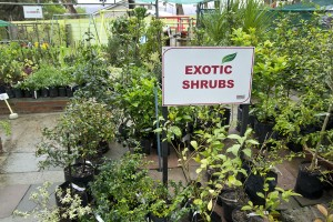Exotic shrubs
