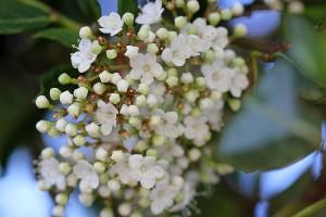 """Viburnum tinus """"Lucidum"""""""