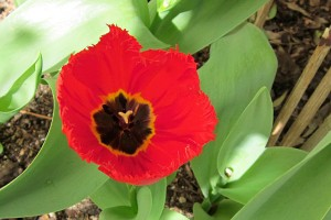 Exotic Tulip from the Hadeco range