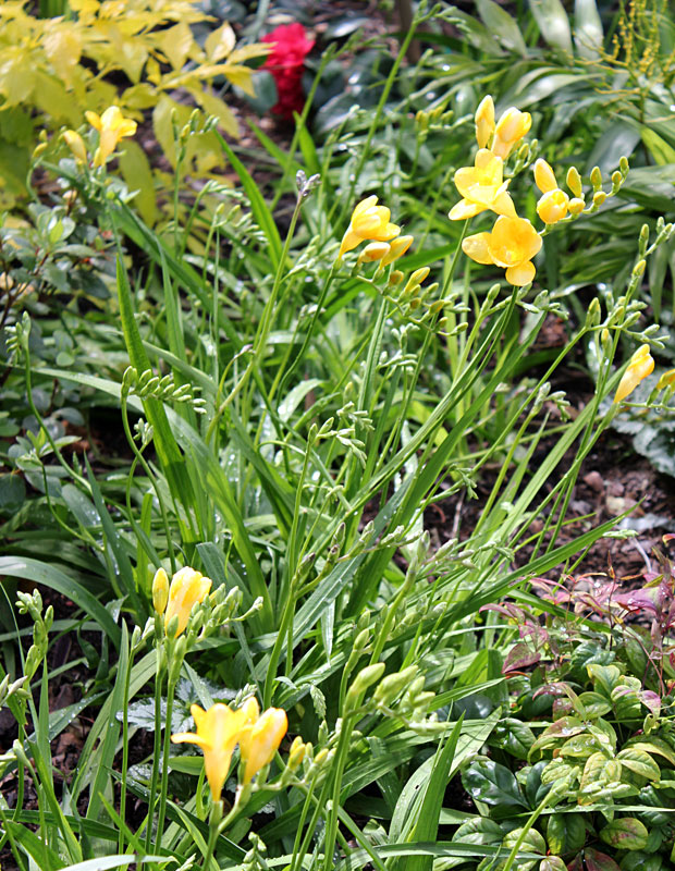 Freesias in the planting scheme