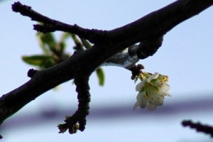 First blossom on the Prunus sp.