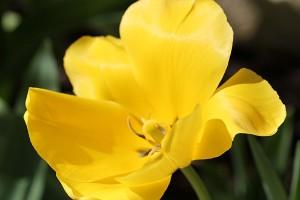 Todays Tulip