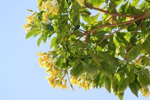 Australian frangipani