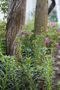 Azaleas and Lilies