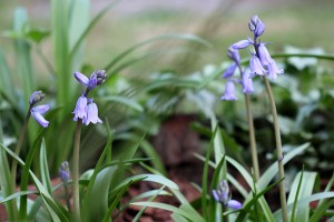 Cute little Bluebells