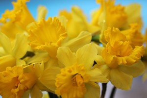 Daffodils picked and in a vase