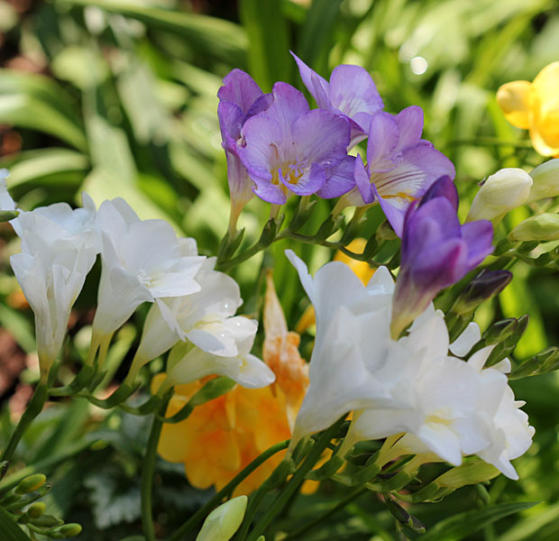 The Freesias are proving much pleasure!