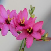 Pretty pink Ixias