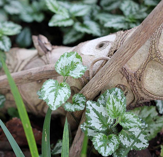 """Lamium maculatum """"Beacon Silver"""""""