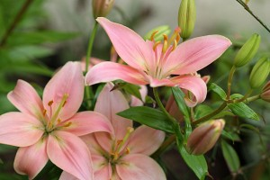 Salmon pink Asiatic Lily