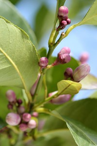Lemon tree covered in buds
