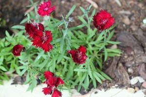 Annuals need dead-heading