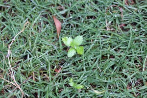 Lawn needs weeding!