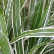 Miscanthus sinesis giant variegata