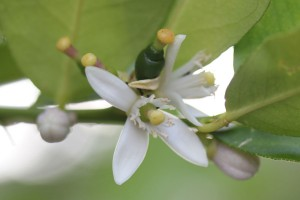 Lime tree blossoms