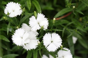 White Dianthus (Sweet William)