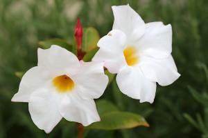 White Mandevilla splenens