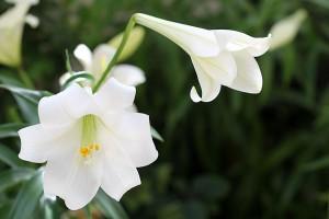 White Lilium Longifolium