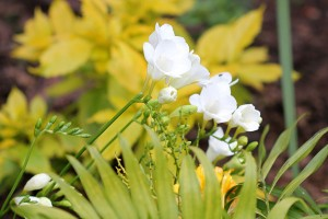 White Freesias