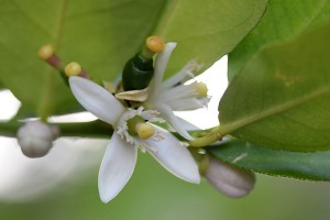 White blossoms on the Lime tree