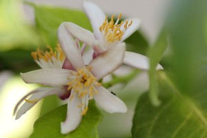 White blossoms on the Lemon tree