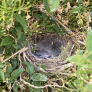 Wagtail mommy on nest 01