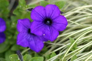 The blue Petunias