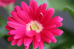 Bright pink Gerbera daisy