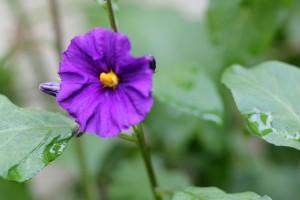 Plant 1 - Solanum