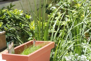 Mexican Feather Grass from seed