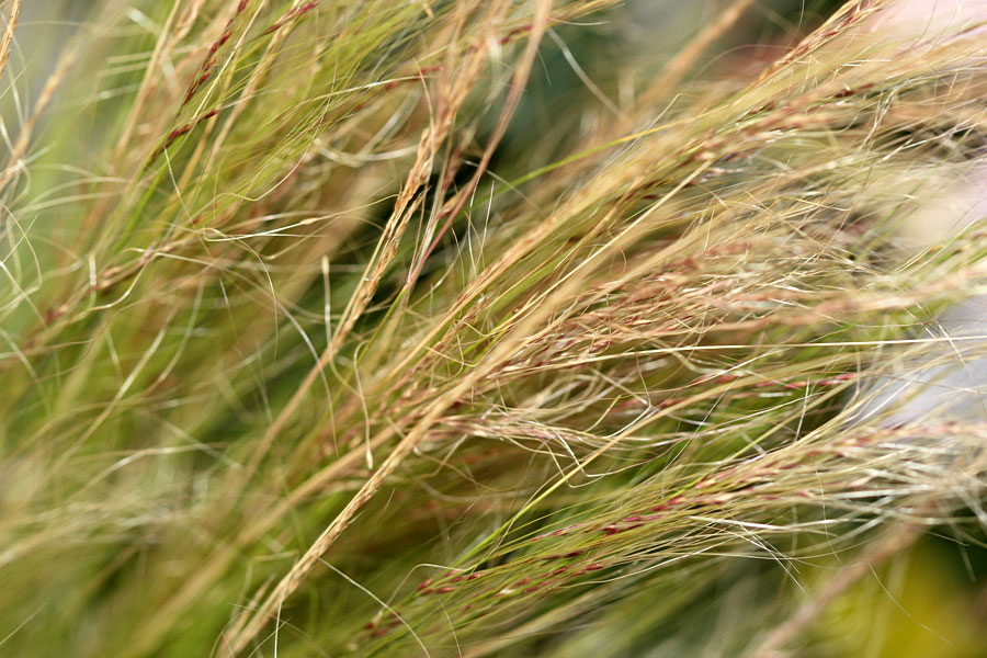 Pretty feather grass by the gardening blog for Pretty grass