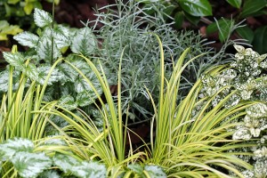 Acorus gramineus, Curry plant & Hypoestes