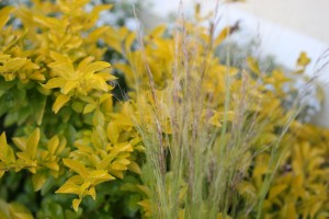 New: Duranta and Mexican feather grass