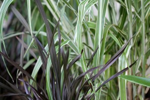 New: Miscanthus variegatus and ?