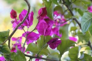 At long last - Bougainvillea flowers