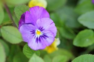 Pretty little violas still flowering