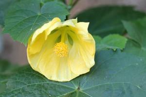 First Abutilon flower
