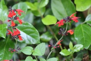 Salvia - new plants in the back