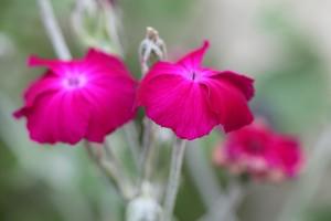 Lynchnis coronata in full bloom