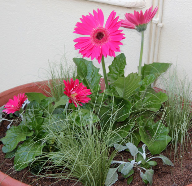 Gerbera and friends get potted