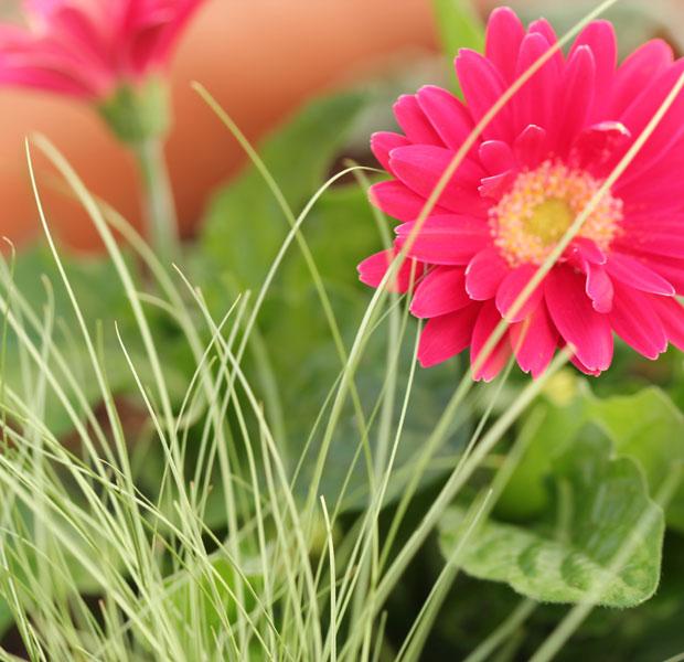 Pretty combination, Gerbera and Carex