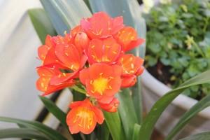 Orange Clivias